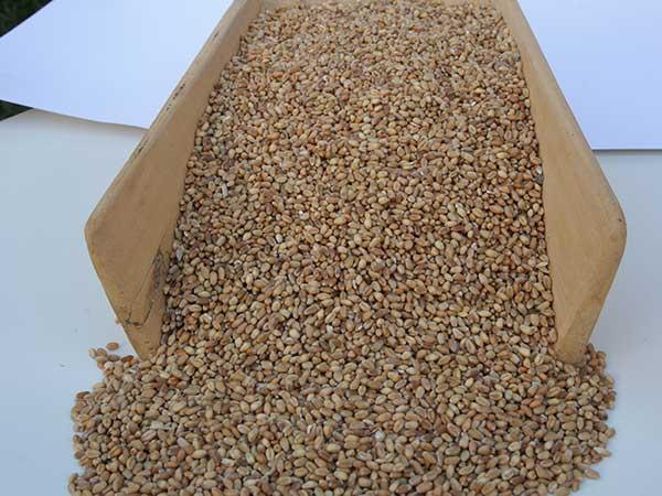 Produzione-di-farina-bramata-per-polenta-bologna